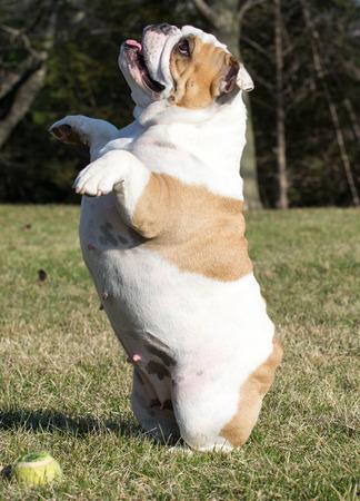 fetch: english bulldog begging to play fetch Stock Photo