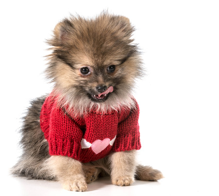 pomeranian wearing red sweater with hearts photo