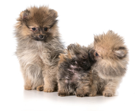 litter: three pomeranian puppies sitting on white background