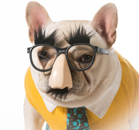 disguised: french bulldog disguised as a human