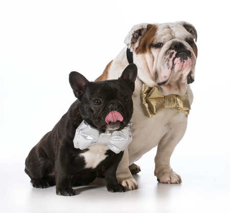 english and french bulldogs wearing bowties photo