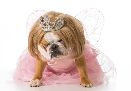 naughty princess - english bulldog wearing princess costume photo