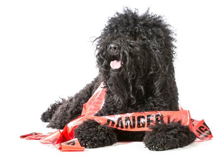 danger: naughty dog - barbet wrapped in danger tape on white background