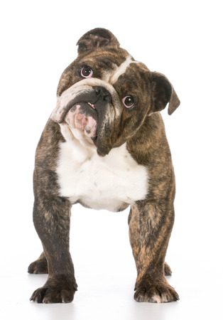 brindle: english bulldog staring at viewer on white background Stock Photo