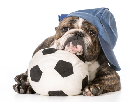 sports hound - english bulldog laying down with head resting on soccer ball photo