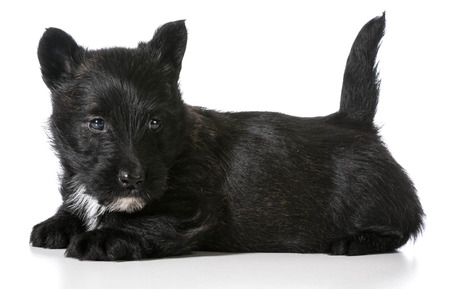 scottish terrier puppy laying down isolated on white background photo