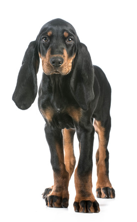 cute puppy - black and tan coonhound standing looking at viewer on white background