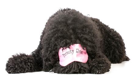 sleep mask: dog tired - barbet wearing pink sleep mask that say beauty rest Stock Photo