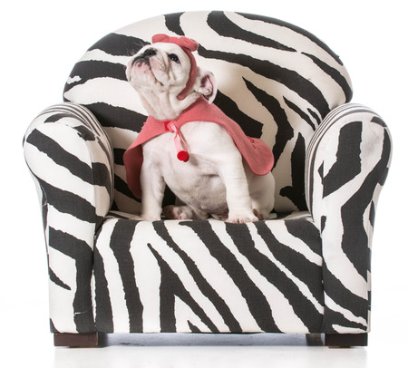english bulldog puppy sitting on a chair on white background photo