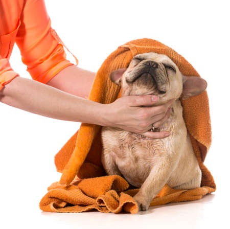 pet grooming: drying french bulldog off with a towel after bath Stock Photo
