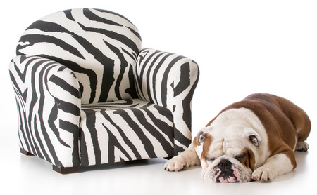 english bulldog sleeping beside sofa chair on white background photo