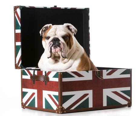 jack in a box: english bulldog sitting inside a british flag trunk