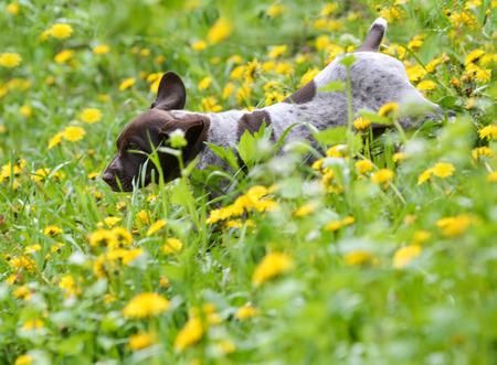 hunter playful: puppy running in the dandelions - german shorthaired pointer puppy