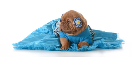 molosse: cute puppy - female dogue de bordeaux wearing blue dress on white background