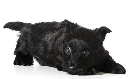 Scottish Terrier puppy in play bow isolated on white background - 4 weeks old photo