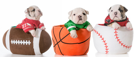 sports hounds - bulldog puppies sitting in sports balls photo