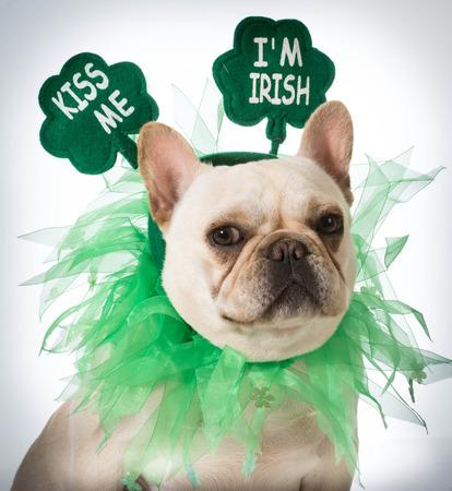 St Patricks Day dog - french bulldog photo