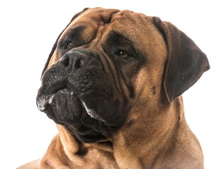 big dog: bullmastiff drooling on white background Stock Photo