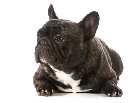 brindle: french bulldog laying down with head up Stock Photo