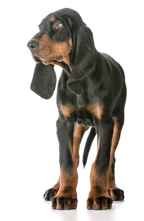 coon: cute puppy - black and tan coonhound standing on white background Stock Photo