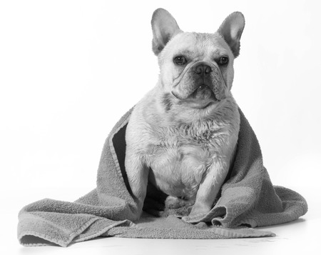 french bulldog after a bath with towel wrapped around photo