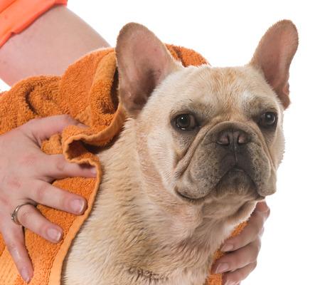 towels bath: dog bath - french bulldog being dried off on white background