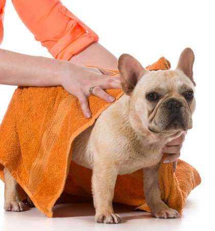drying french bulldog off with a towel after bath photo