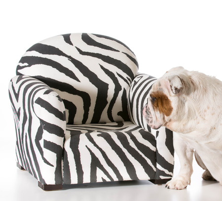 concept of dog being allowed on furniture - english bulldog photo