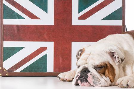 british bulldog: english bulldog sleeping in front of british flag
