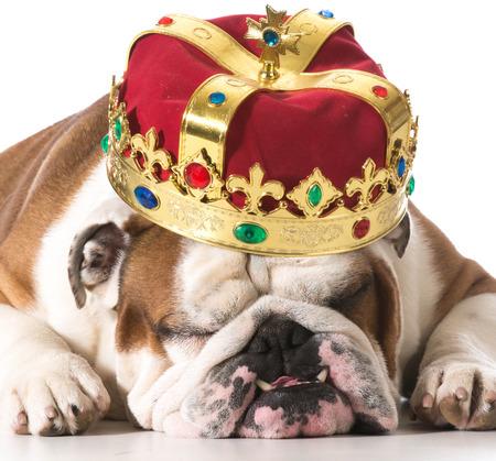 reign: dog wearing crown isolated on white - english bulldog Stock Photo
