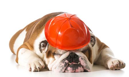 the fireman: english bulldog wearing fireman hat on white background Stock Photo