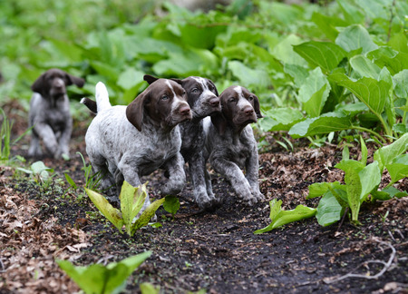 pointer dog: german shorthaired pointer litter running in the forest - 8 weeks old Stock Photo