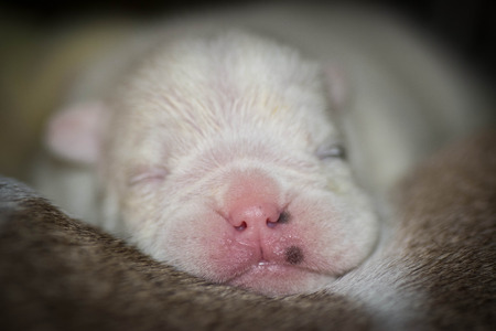 newborn puppy - english bulldog puppy 7 days old photo