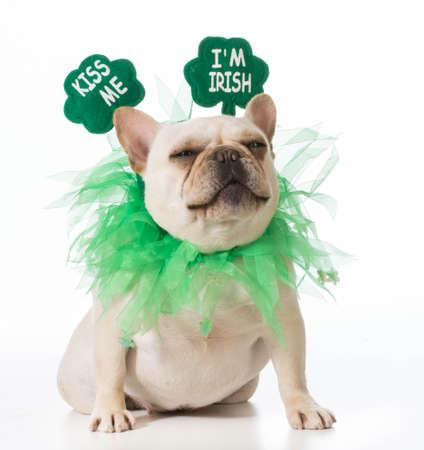 st patricks day: St Patricks Day dog - french bulldog Stock Photo