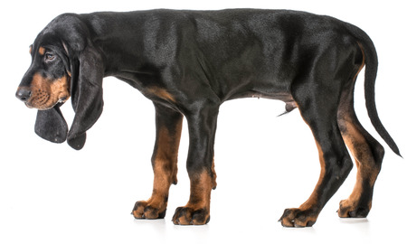 coon: black and tan coonhound puppy on white background