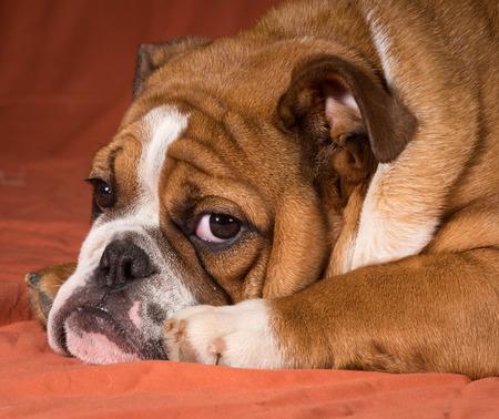looking at viewer: english bulldog puppy laying down looking at viewer