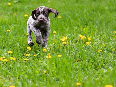 pointer dog: puppy running in the dandelions - german shorthaired pointer puppy