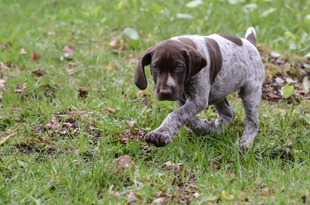 frolic: german shorthaired pointer puppy outside in the grass
