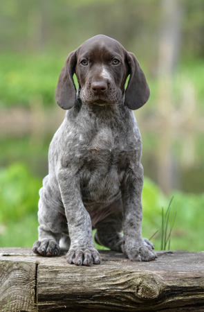 pointer dog: german shorthaired pointer puppy sitting on a log