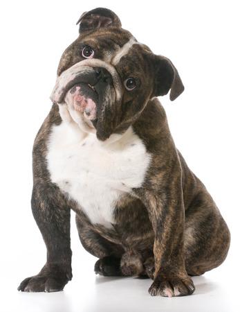 looking at viewer: english bulldog sitting looking at viewer