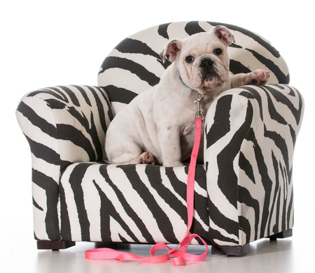 furniture design: english bulldog puppy sitting in a chair on white