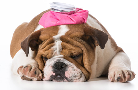 english bulldog puppy with pink water bottle on head on white  Stock Photo