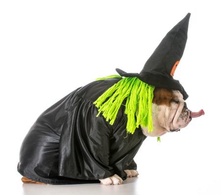 english bulldog wearing witch costume photo
