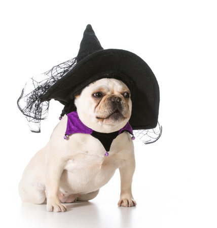 dog in costume: french bulldog wearing witch costume Stock Photo