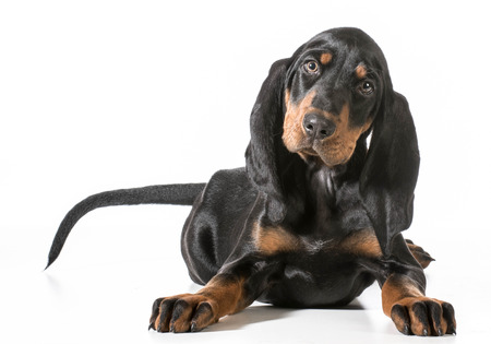 coon: cute puppy - black and tan coonhound laying down on white