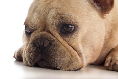 frenchie: sad frenchie puppy Stock Photo