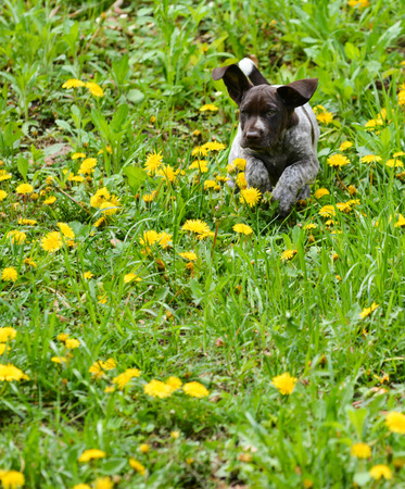 frolic: puppy running in the dandelions - german shorthaired pointer puppy