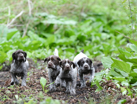 frolic: german shorthaired pointer litter running in the forest - 8 weeks old Stock Photo