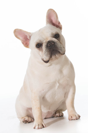 looking at viewer: french bulldog puppy sitting looking at viewer on white background