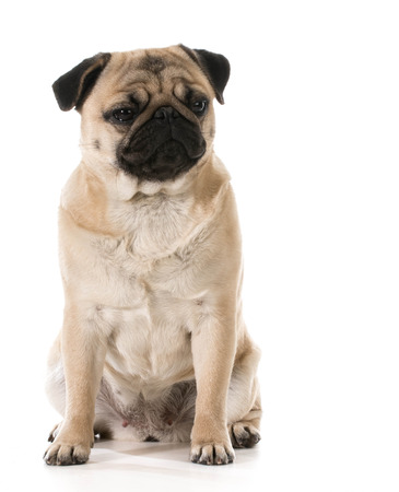 grouchy: grumpy dog - pug with grouchy expression isolated on white background Stock Photo